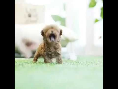 teeny tiny teacup red poodle for sale