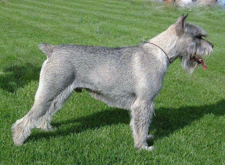 Замечательный охотник. Порода собак, требующих правильного воспитания.Фото породы собак миттельшнауцер.