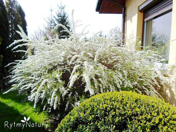 """Tawuła szara """"Grefsheim"""" to gratka dla wielbicieli bieli!   #rytmynatury #ogród #garden #tawuła #wiosna #krzew"""