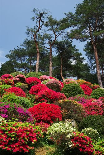 Mountain Of Azalea, Japan Part 93