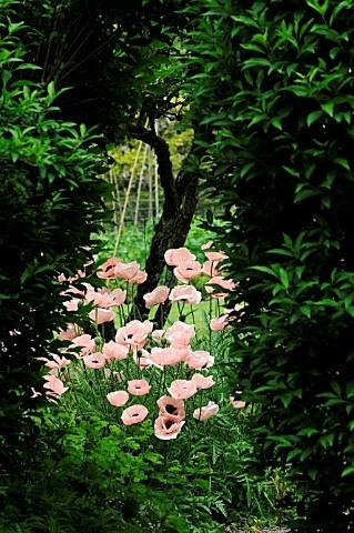 Magnifique massif de pavots rose saumon jardin for Architecte de jardin belgique