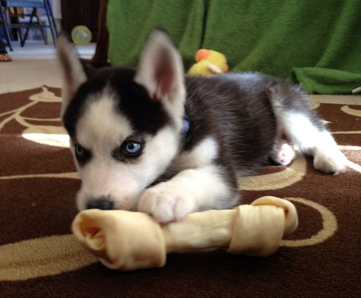Mini Siberian Husky puppy