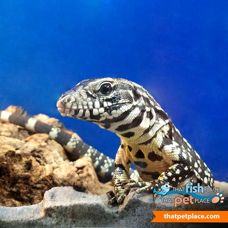 Animal Spotlight of the Week: Did you know? The Argentine Black & White Tegu can reach 4 to 5 feet when full grown! They are quite intelligent reptiles and can even be house-broken!