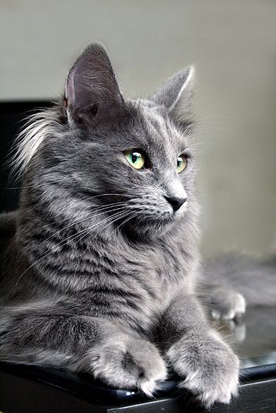 There is just something about gray cats that I absolutely love!