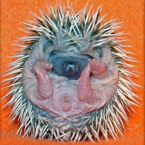 Hedgehogs | Hedgehog, Cute animals, Young animal