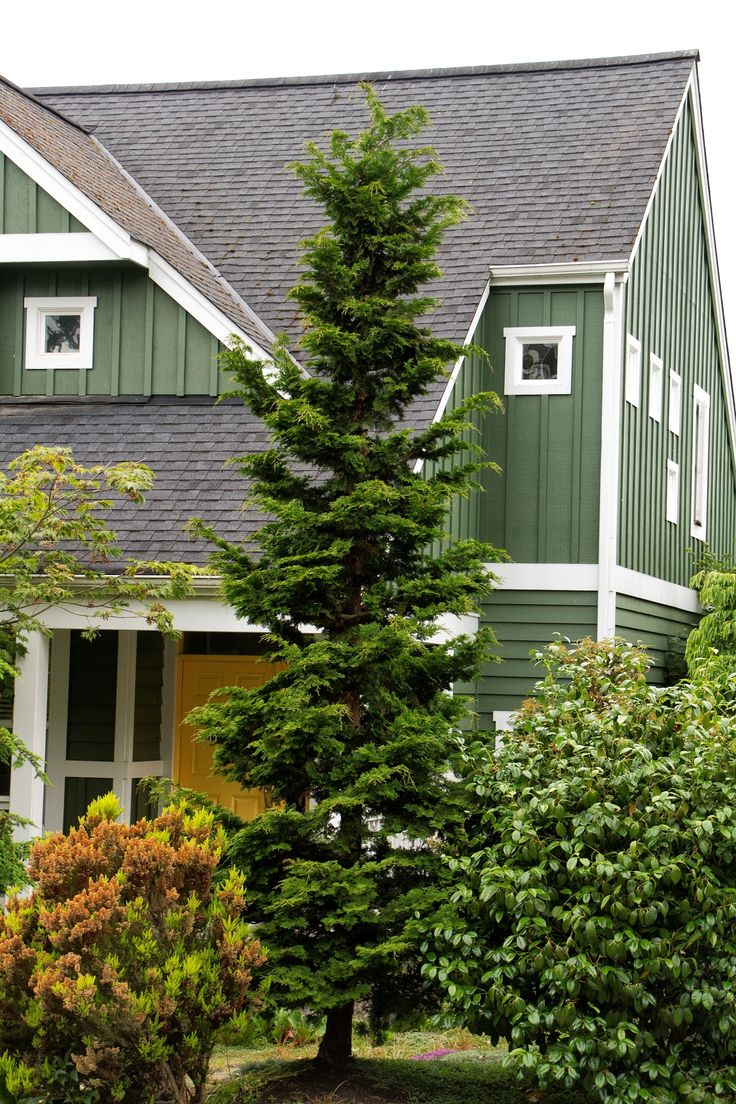 Slender hinoki false cypress 8 12 ft tall 4 5 ft wide for Tall evergreen shrubs