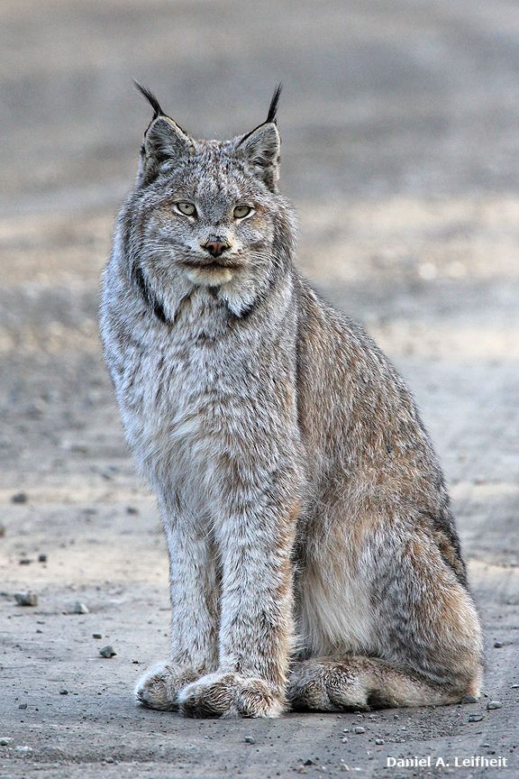 Canada Lynx at Denali National Park, Alaska
