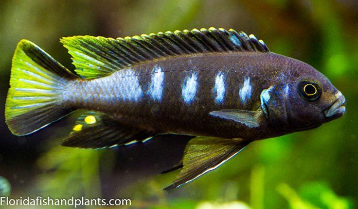 "(3) Pseudotropheus sp. Elongatus ""Chewere"" 1.5 inch African Cichlid Live Fish | eBay"