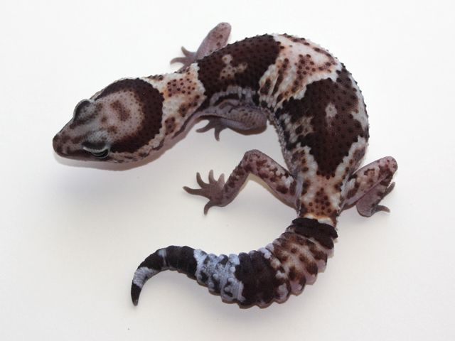 PacHerp Granite African Fat Tail Gecko