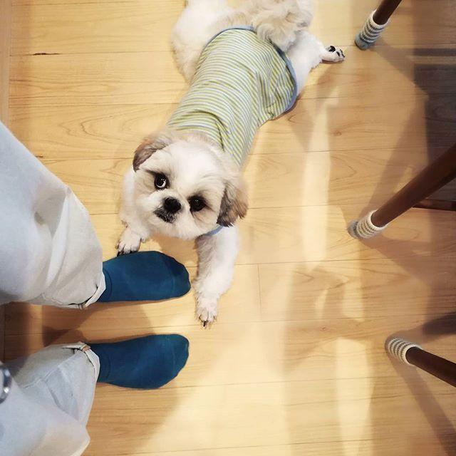 全身がかゆくて皮膚科行ったら急性蕁麻疹と言われた。 パートもお休みもらいダラダラ。 注射と薬でだいぶ楽になったけど痒い。 痒いってつらい。 痒い。  #獅子狗 #シーズー #ShihTzu #犬と暮らす #保護犬 #ししまるくん #愛犬 #ボーダー #里親とゆう選択 #里親 #犬バカ部 #鼻ぺちゃ #鼻ぺちゃ部 #ふわもこ部 #繁殖犬  #停留睾丸 #急性蕁麻疹 #パート #休み #べったり