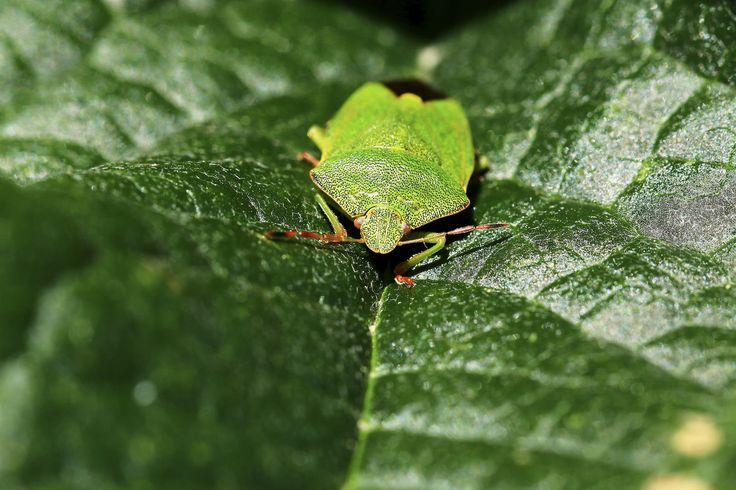 Green Shield Bug | by EmyJSkylark