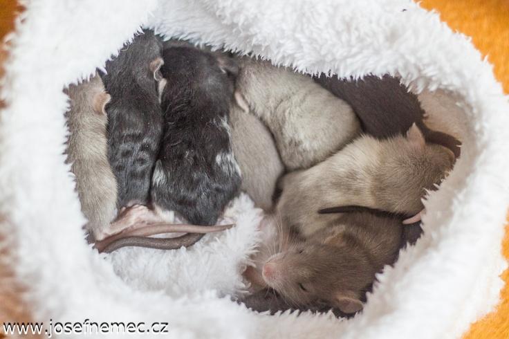 Rats :-) http://kvikal.grovik.net