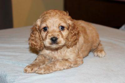 Adorable Cockapoo puppies for sale in NJ, NY, DE, PA, VA & MA - Eden Orchards' American Cockapoos