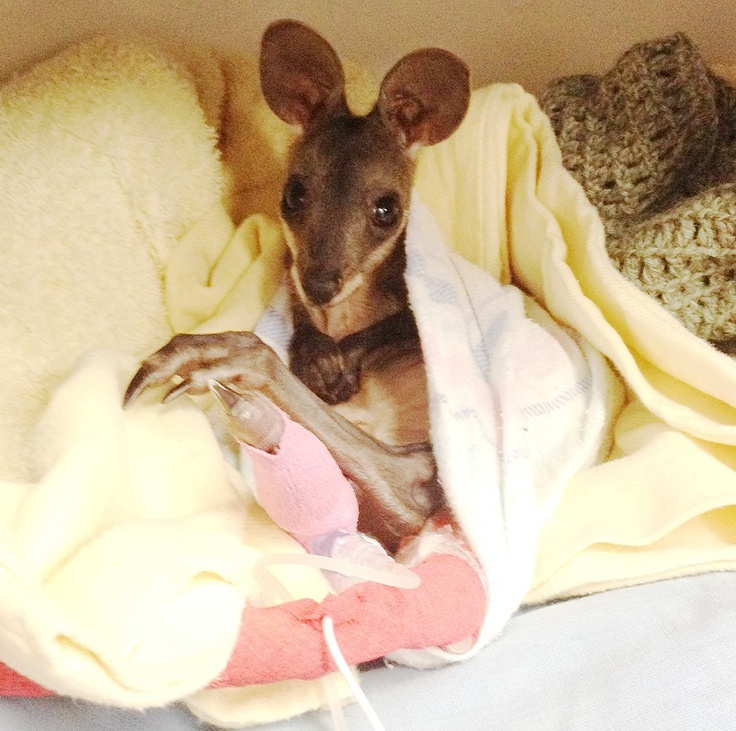 #RSPCAWildlifeHospital - meet Tuppence, a 6 month old swamp wallaby joey. Sadly, she contracted cryptosporidium - a type of parasite that destroys the lining of the bowel. On top of this, Tuppence also had a bacterial infection. She was extremely dehydrated and had lost weight rapidly. Tuppence will need a few more days care before going into long term rehabilitation. All the best for a full recovery Tuppence! http://www.rspcaqld.org.au/en/Wildlife  #RSPCAAnimalRescue #rspcaqld #wildlife