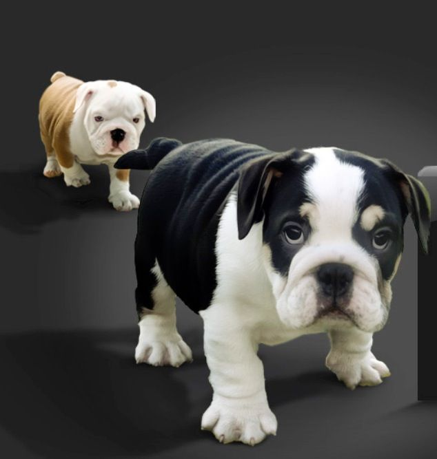 English Bulldog puppies. I want the black one!