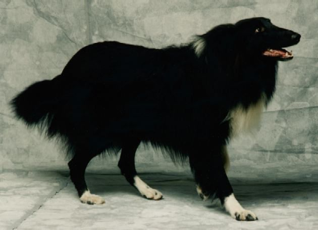 Bi-black rough collie - beautiful & dramatic! I know collies come in all color combinations, but this is a first for me.