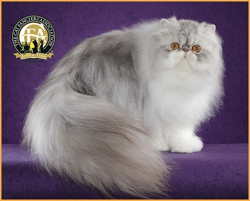 1000 Images About Himalayan Persian Exotic Sh Cats