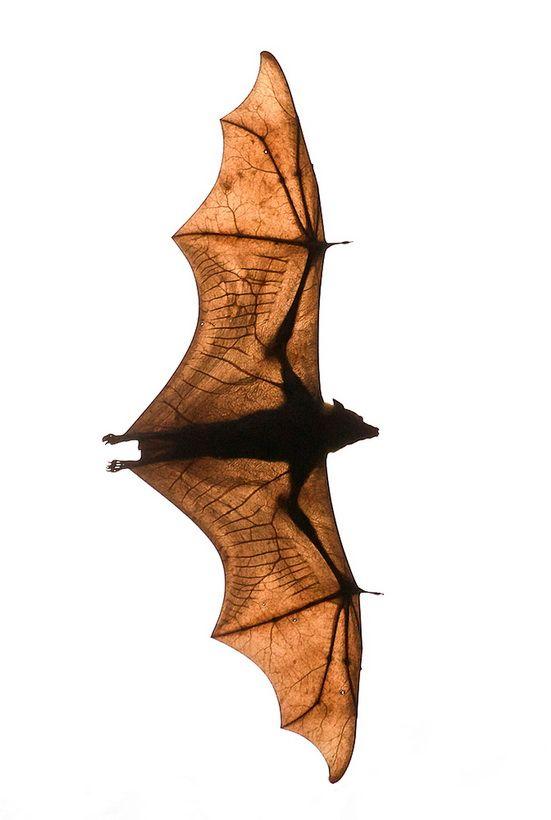 I'm still trying to wrap myself around the anatomy of a bat.