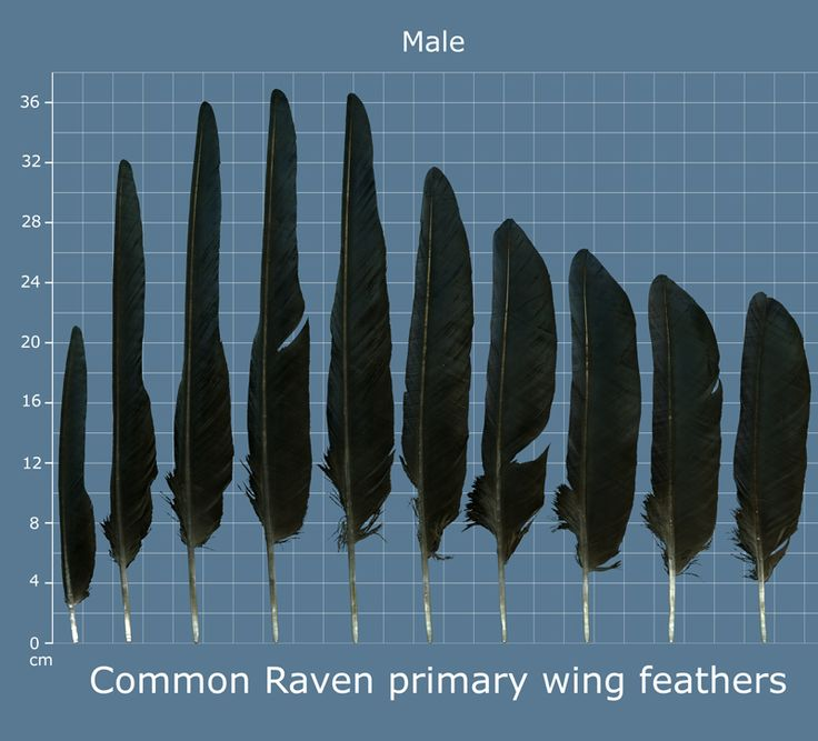 Common Raven Primary Wing Feathers