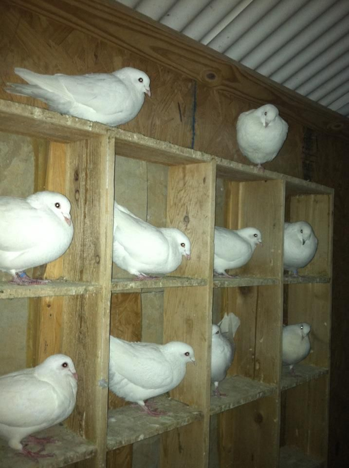 86 Best Doves Images On Pinterest Funeral White Doves And Bird Cages