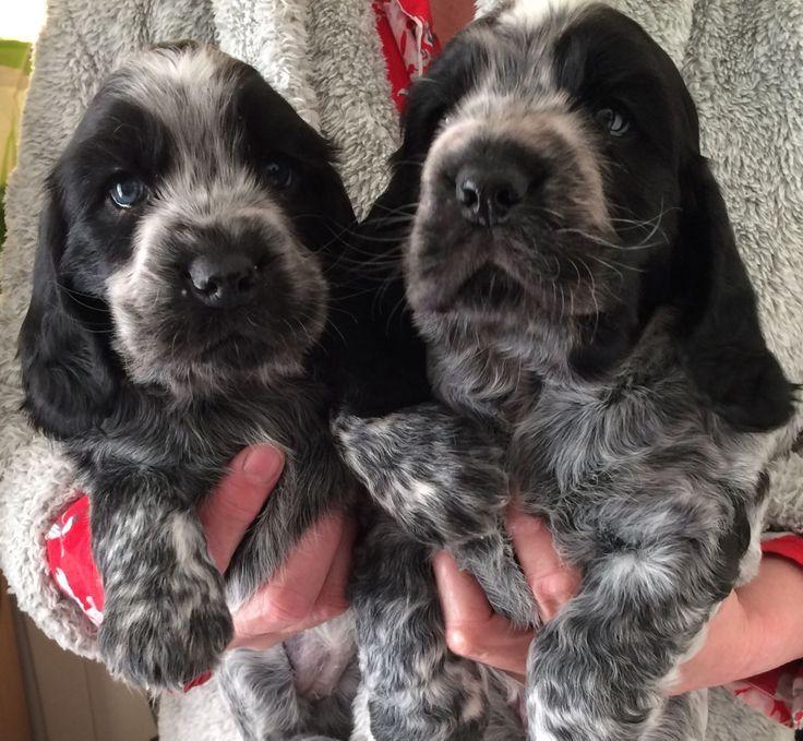 4 Lovely Cocker Spaniel Puppies For Sale 2 Boys 2 Girls Black