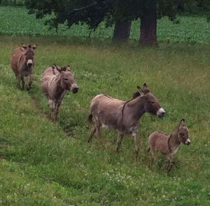 Three donkeys and a Baby! Shared by Back Roads Living!