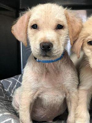 New York Ny Golden Retriever Meet Murphy A Pet For Adoption