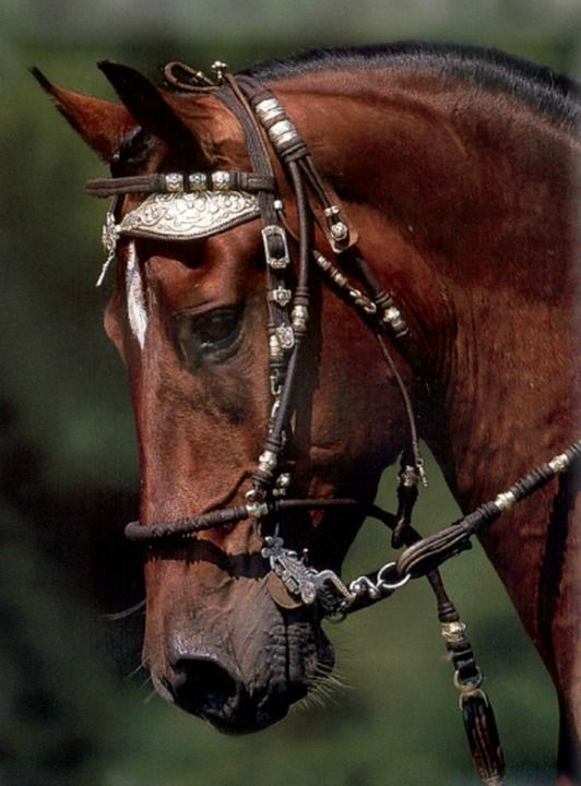 Peruvian Paso stallion Zafiro