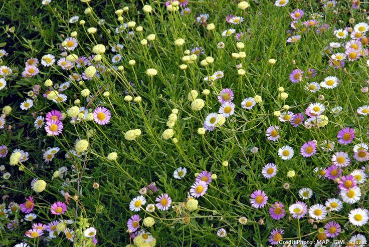 Érigéron (Erigeron karvinskianus) Habituée à pousser entre deux dalles ou entre les pierres d'un mur, cette petite vivace, en fleur plusieurs mois d'affilée, ne craint pas la sécheresse. Mélangez-le à d'autres plantes (ici avec une santoline), car ses tiges sont fines et son port assez dégingandé.