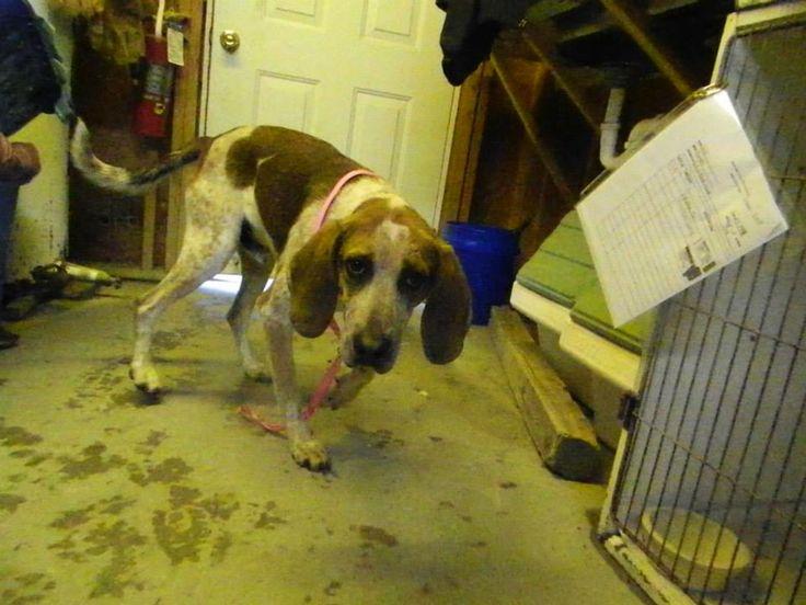 Redtick Coonhound M 23 years HW+ 14_248 named Goob in