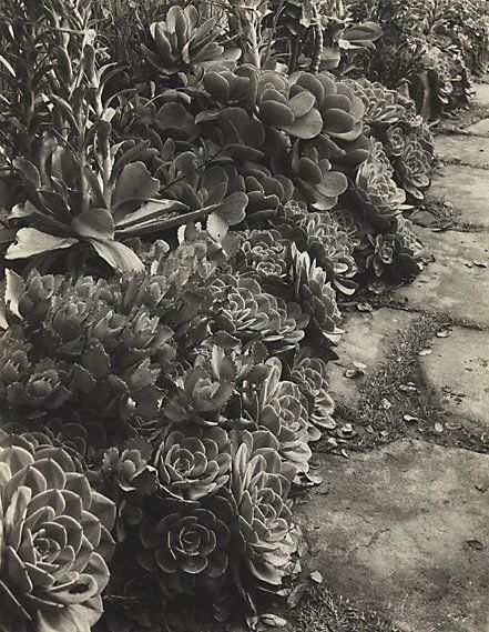 An image of Succulents by Harold Cazneaux
