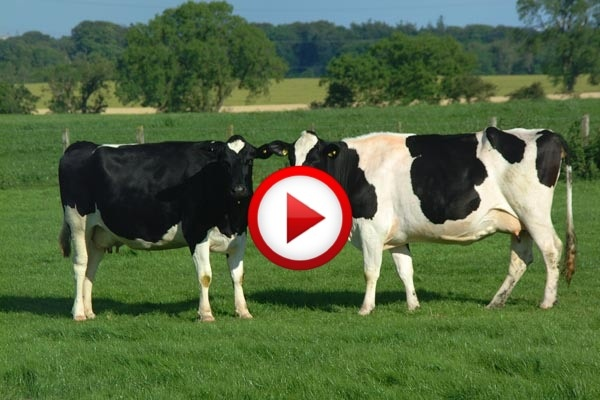 Karate Cow Video #accidents, #animals, #videos, https://facebook.com/apps/application.php?id=106186096099420