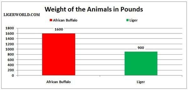 Liger vs Wild African Buffalo