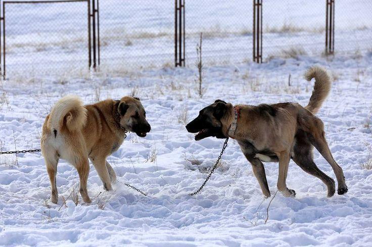 Soğuğa dayanıklılıklarıyla bilinen kangal köpekleri, bugünlerde sıcaklıkların zaman zaman sıfırın altında 20 dereceye düştüğü ve kar kalınlığının yer yer 30 santimetreyi bulduğu Sivas Meraküm tepesindeki üretim tesisinde karın keyfini yaşıyor.