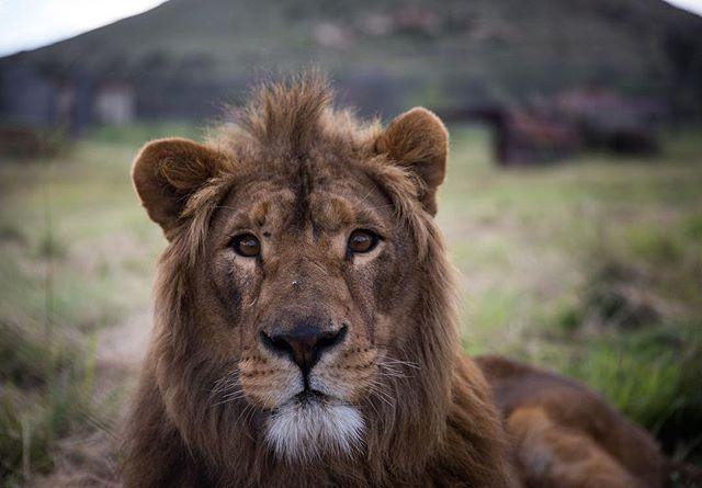 En la fotografía de la organización benéfica Four Paws se muestra al león Saeed en su nuevo recinto adoptivo en el santuario de animales Lionsrock en Belén Sudáfrica. Saeed nació en el Magic World Zoo cerca de Alepo en Siria en 2016. Fue uno de los 13 animales que Four Paws rescató del zoológico de guerra en julio de 2017.  Foto: AFP #Lion #SouthAfrica