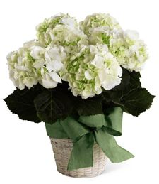 Ortensia, bellissima pianta fiorita dai fiori spumeggianti