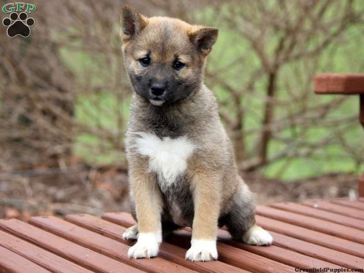 Tucker, shiba inu puppy for sale from Lykens, PA Shiba