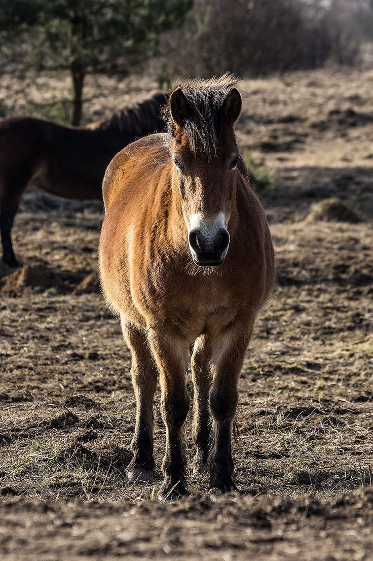 Loveville Photogallery - WILD HORSES - Divocí koně / Exmoor horses