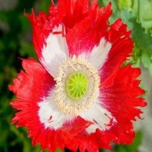 1000 id es sur le th me plante herbac e sur pinterest for Plante annuelle