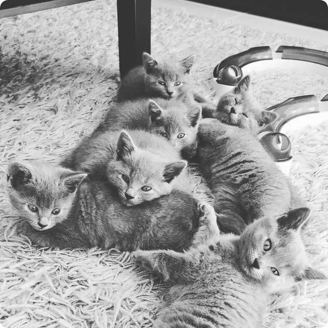 pack of chartreux kitten