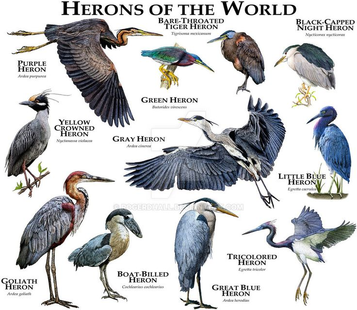 Herons of the World by rogerdhall on DeviantArt