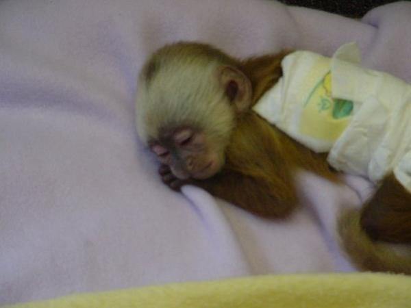 Capuchin monkey :)