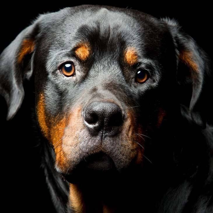 Rottweiler looking at you