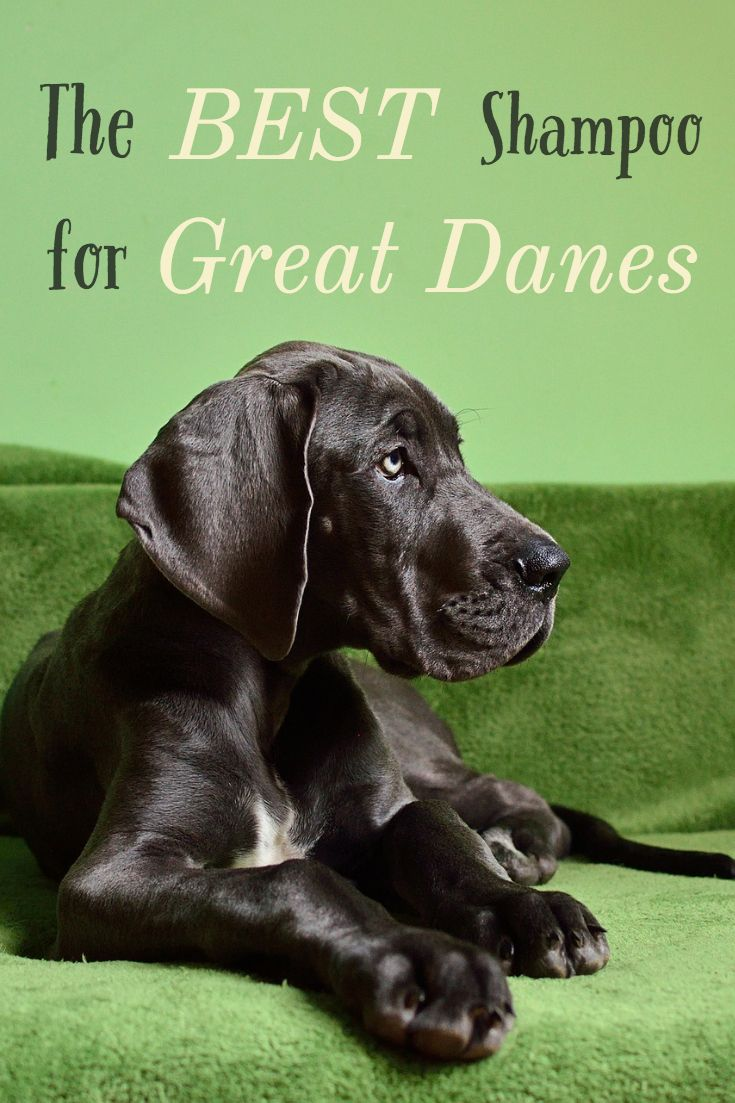 The Best Shampoo For Great Danes Tips For A Healthy Coat Dane