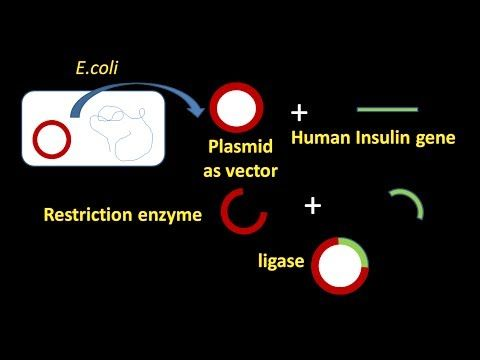 Steps in recombinant DNA technology explained with the example of insulin synthesis in bacterium.