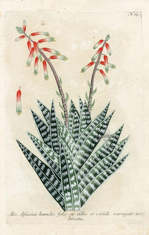 Johann Weinmann, Aloe Africana humilis folio ex albo et viridi variegato, 1737.