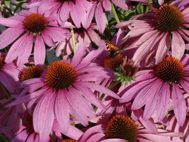 Echinacea purpurea 'Magnus' | oslolykke