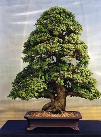 Jade Plant (Crassula Ovata) Bonsai succulents « Swindon & District Bonsai
