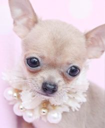 chihuahua puppy for sale