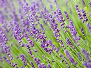 Pruning Lavender Plants - Start Them Off Right: How to Prune Lavender Plants
